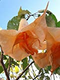brugmansia fiore doppio pesca trompe d'angelo talee 2