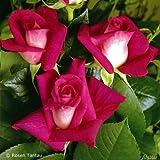 Edelrose Acapella in Rot & Weiß - Duftrose winterhart - Rose stark duftend - Zweifarbige Pflanze, wurzelnackt/Wurzelware von Garten Schlüter - Pflanzen in Top Qualität