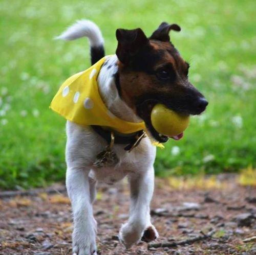 Premier Dog Hunde-Halstuch, Motiv: Rosen / Punkte, Rosa - 3