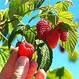 Sisaki 100pcs / sac Framboises Rouges Graines De Framboise Rouges Fruits Du Jardin Graines