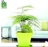 Olivagno eleagnus eleagnus piante da giardino for Glicine bonsai prezzo