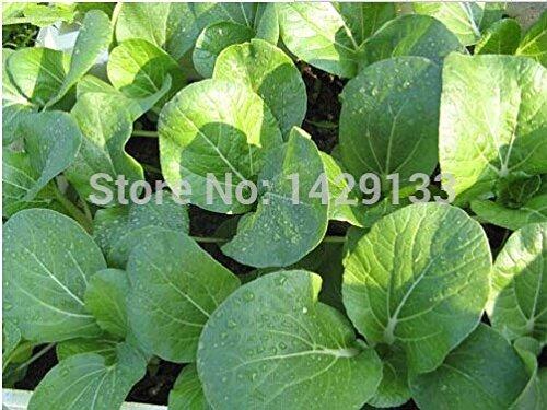 Vert Graines de légumes Pak Choi chou chinois 400 graines pour Agriculteur jardinage maison plante semillas Végétales