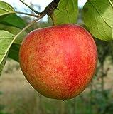 Apfelbaum Cox Orange LH 130-150 cm, Äpfel gelb, Busch, mittelstark wachsend, im Topf, Obstbaum winterhart, Malus domestica