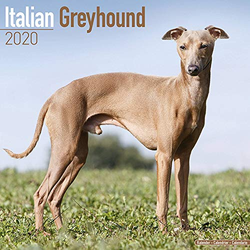 Italian Greyhound Calendar 2020 -