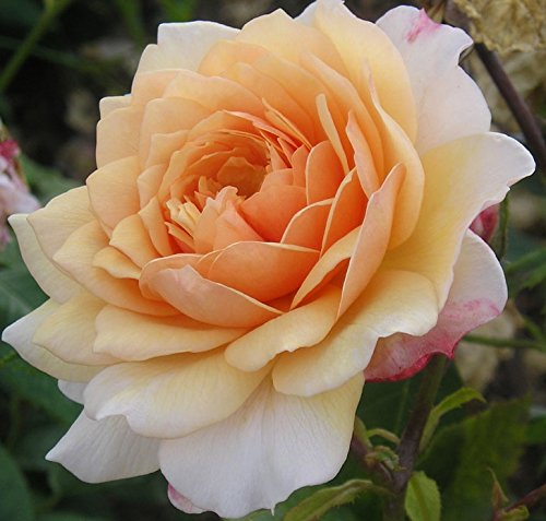 grace-55lt-potted-david-austin-shrub-garden-rose-fragrant-pastel-orange-ginger-blooms