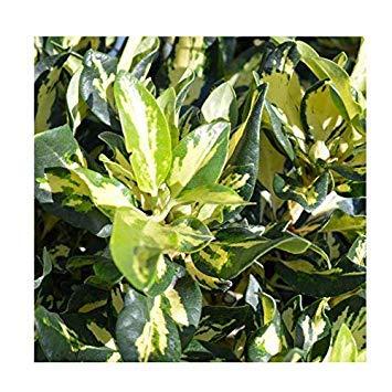 Shop Meeko Rhododendron Hybrid Variegata 'Blattgold' 15cm Topf Größe