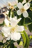 Duftender Bauernjasmin 40-60 cm Strauch für Sonne-Halbschatten Zierstrauch weiß blühend