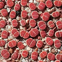 ScoutSeed Lithops Karasmontana \'Red Top\' - 15 Semillas - Living Stones Mesemb Succulent