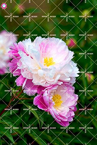 10 pcs Double Blooms Pivoine Graines Heirloom Sorbet robuste Pivoine rouge Bonsai Graines de fleurs Pot Arbre Pivoine Jardin Graines Plante 9