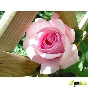 Englische rose rosa 'Ausgreen's Spray®'