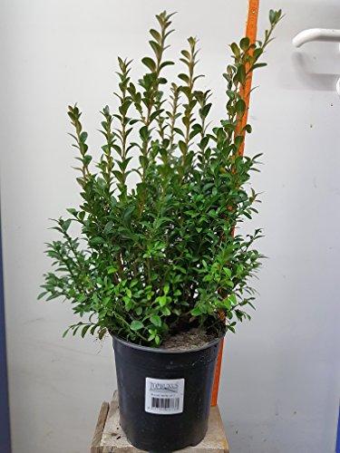10-articoli-piante-da-siepe-bosso-buxus-sempervirens-alta-50cm-dimensioni-del-piatto-17cm-sempreverd
