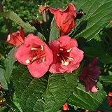 """Weigela florida """"Bristol Ruby"""" [Vaso Ø19cm]"""