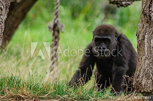 druck-shop24 Wunschmotiv: Baby Western Lowland Gorilla #231779013 - Bild auf Alu-Dibond - 3:2-60 x 40 cm / 40 x 60 cm