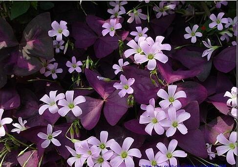100 Oxalis Red Oxalis Fleur Oxalis pourpre Trèfle 100% graines de bonsaï Real fleurs vivaces en plein air pour le jardin de la maison 8