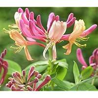 2016 venta caliente reales Sementes 20 PC / bolsa de Cabo de madreselva (Tecomaria capensis) Las semillas, flores frescas exóticas semillas de plantas Bonsai Raras
