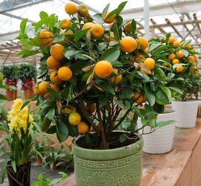 10 graines Balcon Patio pot Arbres fruitiers Graines Plantées Kumquat orange Tangerine bateau libre Citrus 2