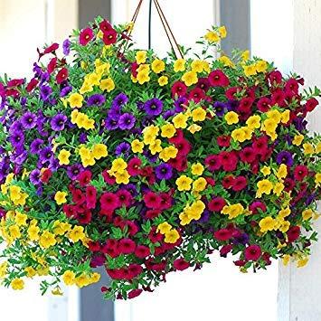 100 pièces / noir Petunia Graines rares Graines Fleur noire Pétunia dans Graines de fleurs à l'intérieur Bonsai pour jardin bonsaï jaune