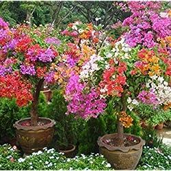 Freies Verschiffen 100 Mix Farbe Bougainvillea Balkon Topf, Garten Bonsai Blume Pflanze enorm auffällige, floriferous robuste Pflanze 9
