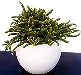 RHIPSALIS HORRIDA IN CERAMICA, pianta da interno, pianta vera
