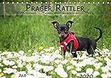 Prager Rattler (Tischkalender 2020 DIN A5 quer): Kleiner Hund mit ganz viel Herz (Monatskalender, 14 Seiten ) (CALVENDO Tiere)