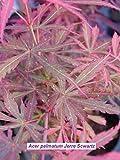 Portal Cool Japanischer Ahorn Jerre Scwartz Pflanze aus Graft