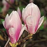 Tulpenmagnolie Magnolia soulangiana 150-190 cm