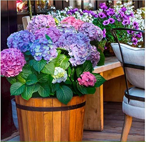 Tomasa Samenhaus- 100 Stück Ball-Hortensie Endless Summer Riesen Garten-Hortensie Hydrangea Blumensamen winterhart mehrjährig Saatgut für Balkon/Terrasse/Garten