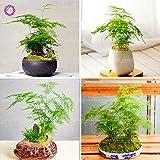 Shopmeeko Samen: 20PCS Spargel Farn Pflanze (Feder-Spargel) Kleine Bambus Bonsai Setose Spargelpflanzen reinigen die Luft Perennial Indoor Potte