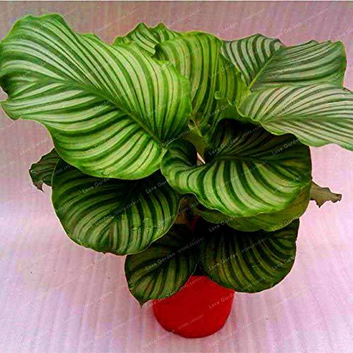 Bloom Green Co. 100 Stück Calathea Bonsai Blattpflanze Bonsai Pot Variety Complete Der angehende Rate 95% Vier Jahreszeiten leicht Einpflanzen wachsen: 5