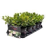 Bloombux ® - Weltneuheit die blühende Buchsbaumalternative! 10er Set für Heckenpflanzung, ideale Pflanzzeit! 15-25 cm, 2,5 m Hecke