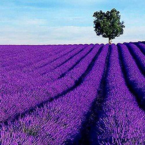 Tomasa Gartensamen- Bienen Lavendel duftend Lavendel Samen Blumensamen Saatgut winterhart mehrjährig Blumensamen bunte Blumenwiesen exotische samen