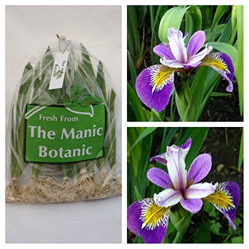 iris-pseudacorus-holdens-child-marginal-pond-plant