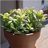 #10: Crassula Ovata, Jade Plant ( Succulent ) - Plant