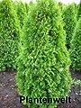 Smaragd Lebensbaum Thuja occidentalis Smaragd 80 - 100 cm hoch im 5 Liter Pflanzcontainer von Plantenwelt bei Du und dein Garten