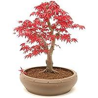 Japanischer ROTER Ahorn / Fächerahorn - ca. 20 Samen - Acer palmatum atropurpureum - Baum & Bonsai geeignet