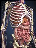 Posterlounge Holzbild 120 x 160 cm: Menschlicher Torso mit inneren Organen, Nerven und Blutgefäßen von Stocktrek Images