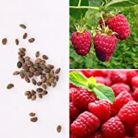 Rosepoem 25pcs frambuesa Frambuesas Semillas Semillas de frutas Perenne Semilla jardín medicinal vida al aire libre