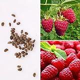 Rosepoem 25pcs framboises Framboises Graines vivaces fruits Graines semences jardin médicinal...