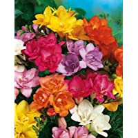 30 bulbi fresie DOPPIE mix di colori bulbi di grosso calibro