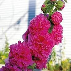 BEE Garden Beautiful Colours Hollyhock Flower Seeds - Pack of 30