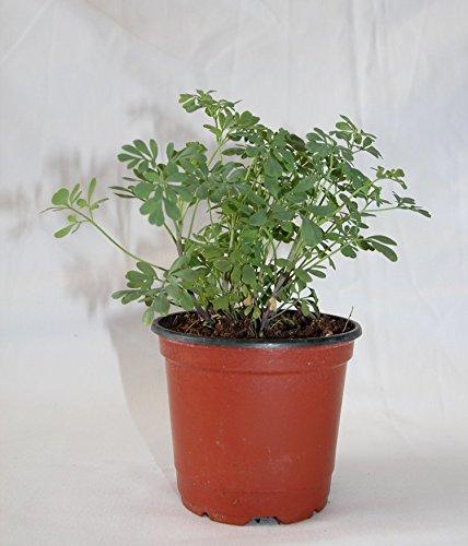 Ruda Maceta 10,5 cm Ø - Planta viva - Planta aromatica