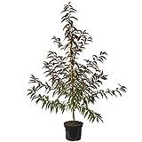 Müllers Grüner Garten Shop Pfirsichbaum Rubira Blutpfirsich Pfirsich rotes Laub sehr dekorativ 120-150 cm 7,5 Liter Topf