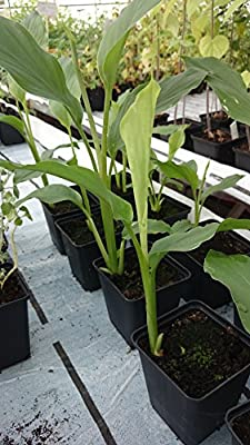 Kräuterey : Kurkuma - Gelbwurz - Curcuma longa - Pflanze - Bioland von Kräuterey - Du und dein Garten