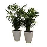 Pflanzenservice 891130 Zimmerpalmen-Duo mit Dekotopf