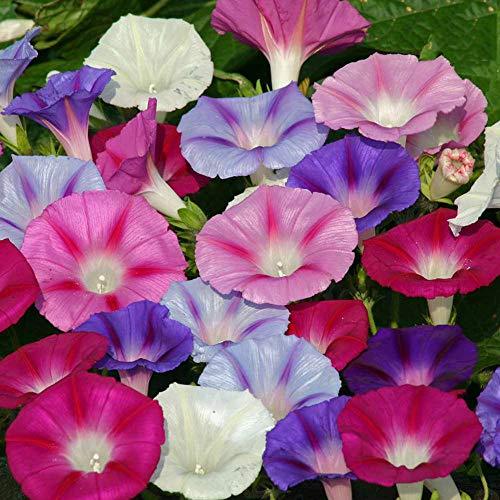 Multicolor Morning Glory Seeds 100+ Bonsai Big Petunia Beautiful Garden  Flowers Fresh Flower Seeds (Mix)