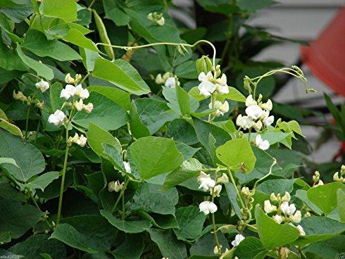 PinkdoseHyacinth Bean Vine ~ 100 Samen Weiß, ideal für Trellis, SchÃnheit