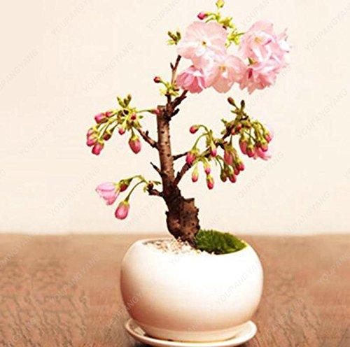10 pcs mini Bonsaï japonais Sakura, Graines Bonsai Fleur de cerisier Accueil Graden Décoration Livraison gratuite Blanc