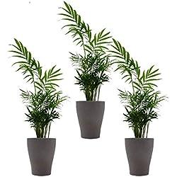 """Zimmerpalmen-Trio mit Keramik-Blumentopf """"Orchid umber"""" von Scheurich - 3 Pflanzen und 3 Deko-Töpfe"""