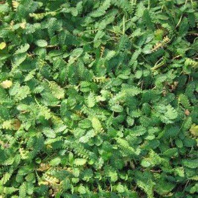 Fiederpolster ( Cotula dioica (syn. Leptinella )) von Lichtnelke Pflanzenversand bei Du und dein Garten