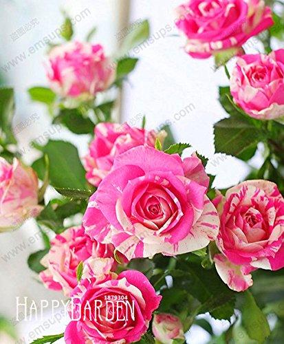 Galleria fotografica Vendita calda! 20 pc / sacchetto rosa pallido bianco petali di geranio Semi, semi perenne fiore Pelargonium Peltatum Fiori, # WC7HZT